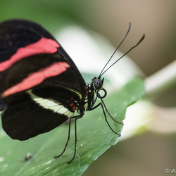 Artis Passiebloemvlinder Heliconius Spec