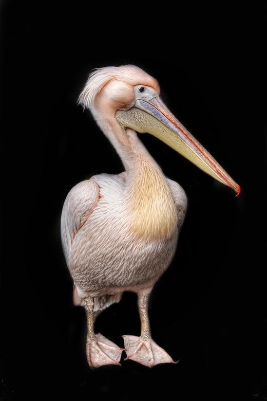 DSC08653-01 - Deze pelikaan stond er even mooi voor vanochtend in Bestzoo