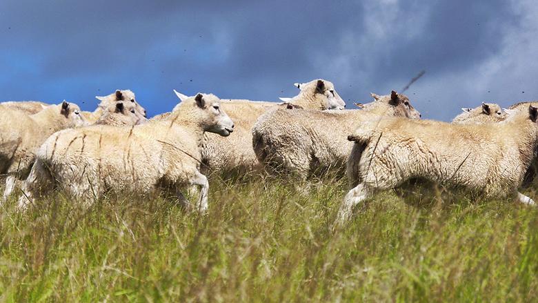 Op de vlucht - De schapen worden bijeengedreven door de herdershond. Gemaakt in Nieuw-Zeeland.