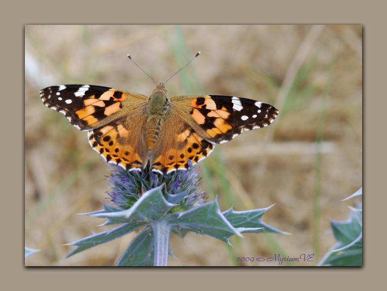 Een gewillige vlinder - Op mijn fototocht in de duinen van de Landes, kwam ik een redelijk gewillige vlinder tegen ... hier is er eentje van.