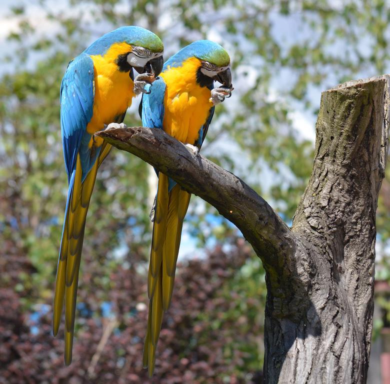 Ara Twins. - Ara's eten synchroon hun nootje op in de Dierengarde Blijdorp. Foto uit mijn archief.