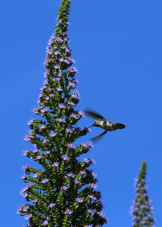 Breedsnavelkolibrie - Deze kolibrie was te zien 100 meter van de Golden Gate bridge in San Franscisco.