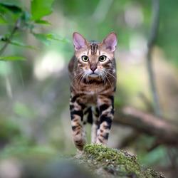 Bengaal in het bos