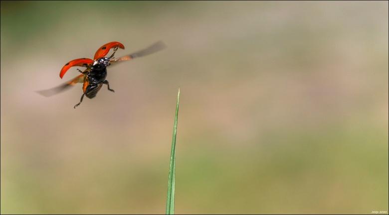 Lieveheersbeestje. -