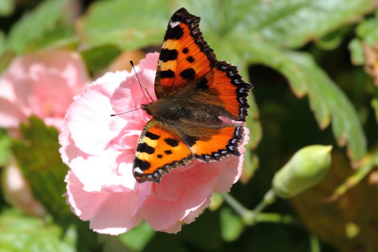 Herfstvlinder - Toch nog enige herfstzon met vlinders. Snel er nog een vastgelegd.