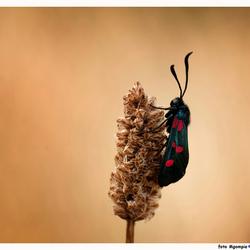5 vlek St. Jans vlinder