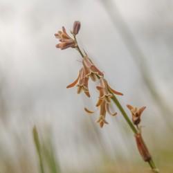 Bruine hyacint