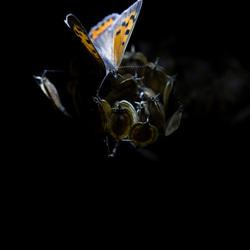 Kleine vuur vlinder