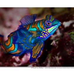 Mandarijn pitvissen