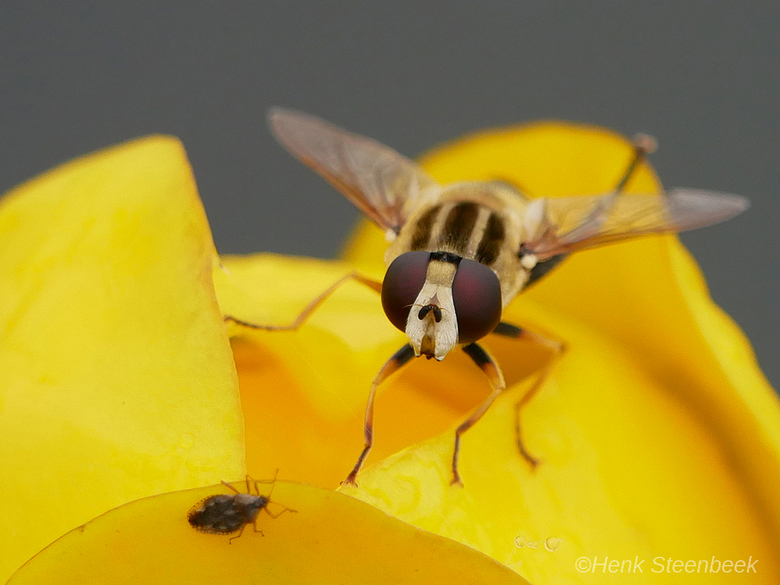 klein en kleiner - Is dit kleine insect op jacht naar het nog veel kleinere insect?<br /> Mijn kennis schiet te kort, naar welke insecten kijken we h