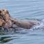 Alaska - Parende zeeotters