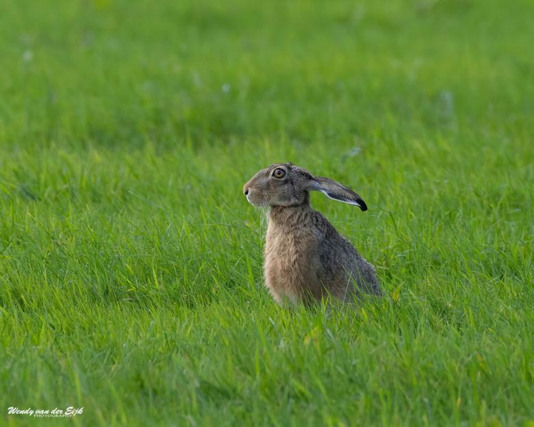 """Haas - Deze haas gespot tijdens een wandeling bij """"de groene keijzer"""". Een gebied in de polder van Delfgauw. Zijn oren bewogen in allerlei standen. Di"""