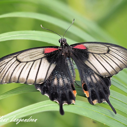 Papilio lowii