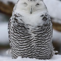 sneeuwuiltje