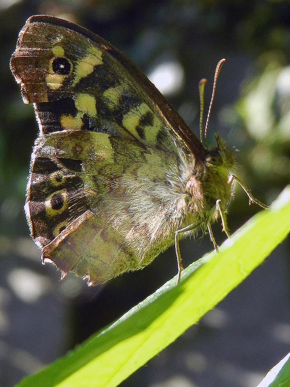 vlinder - Experiment met superzoomcamera om macro opnames te maken. Dit is het resultaat.
