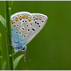 Icarusblauwtje in het groen.....