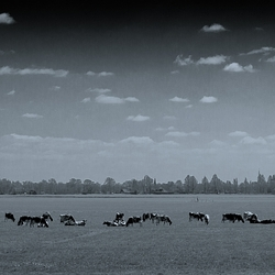 Frieslandfotografie_koeien.jpg