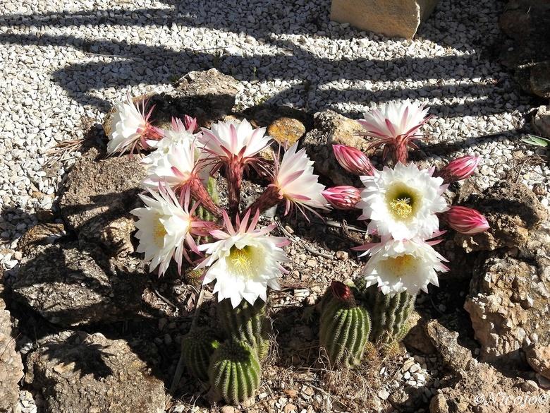 koningin van de nacht... - meer als 17 bloemen komen in twee dagen en dan is het voor een jaar weer voorbij. Ze bloeien helaas maar een dag.<br /> <b