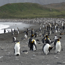heel veel pinguins