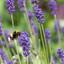 Een vliegende hommel bij de lavendel
