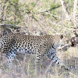 luipaard op pad