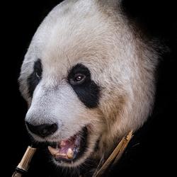 Panda portretje