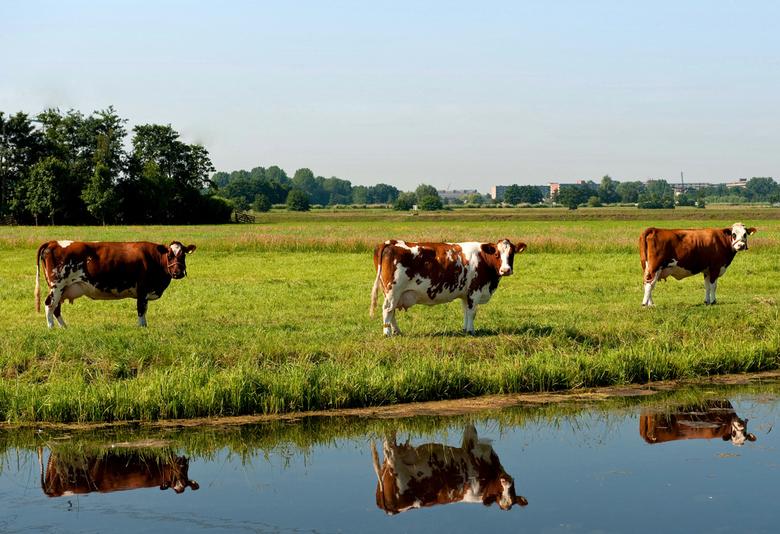 Koeien 3 op een rij (of 6) - Gemaakt tijdens een wandeling rond Kinderdijk