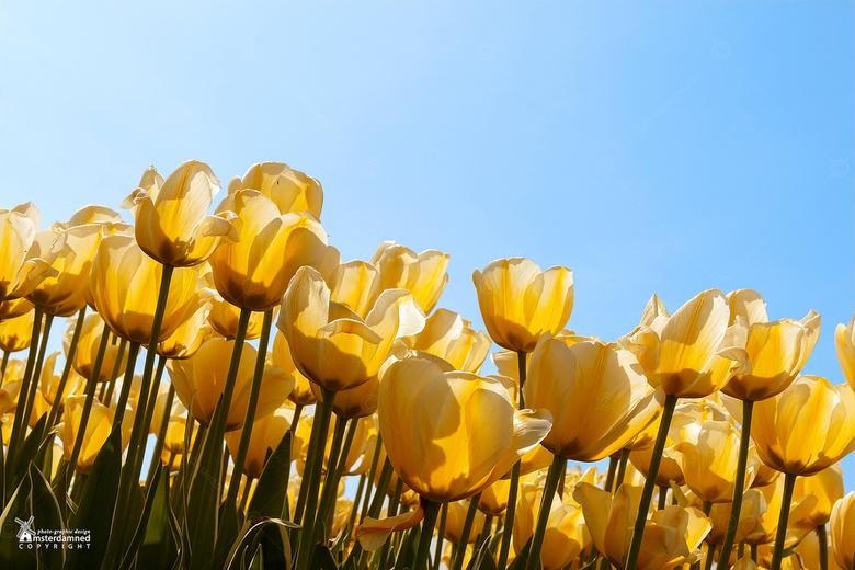 Bloembolenvelden - Het lentezonnetje kleurt de tulpen op de bloembollenvelden bij Teylingen goudgeel.