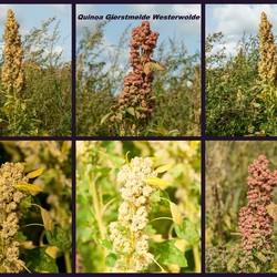 quinoa - Gierstmelde