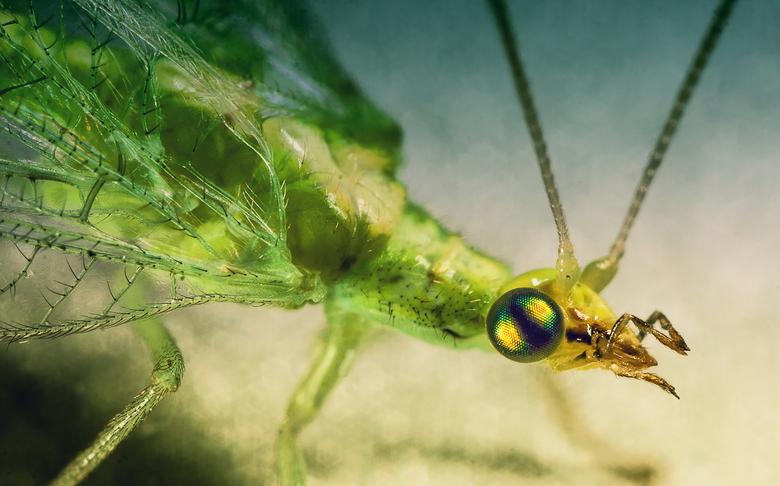 Green... - Deze groen gaasvlieg was het huis aan het verkennen en vond de bureaulamp zeer interessant.  Het gaf mij tijd genoeg om hem goed op de foto