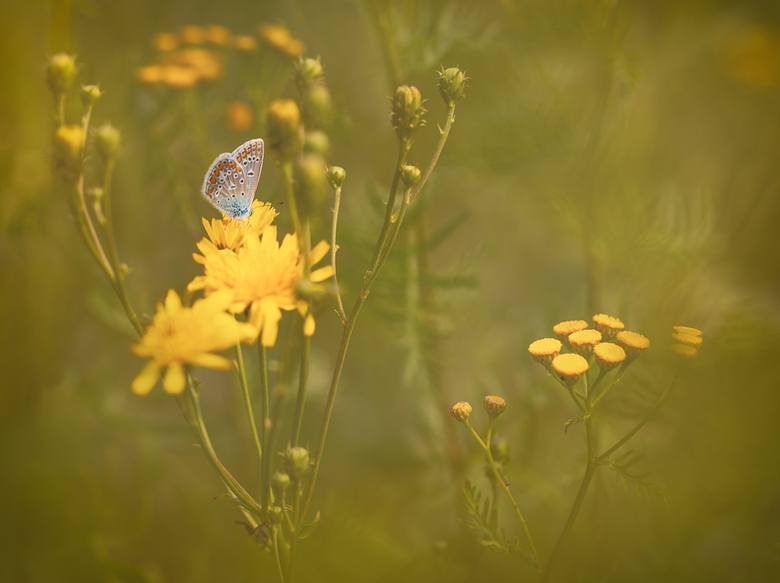 A short Break - Dit vlindertje bleef even een momentje stil zitten tussen het geel en groen. Foto is ook genomen bij het Natuurcentrum Veluwe in Ede.