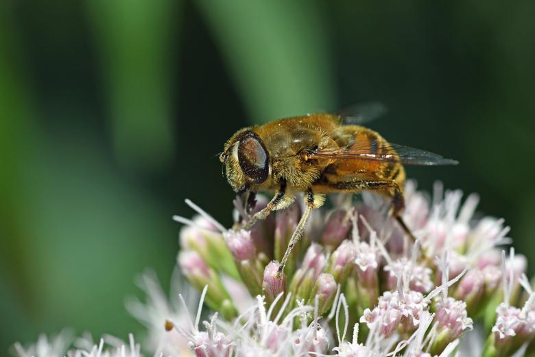 overvloed - Koninginnenkruid is rijk aan nectar. De bloemen worden zowel door bijen als door zweefvliegen en vlinders intensief bezocht. En de roze bl