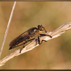 Geelbaardroofvlieg (Eutolmus rufibarbis) AWD