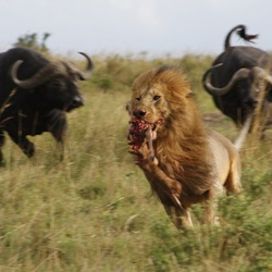 Chasing a Lion!