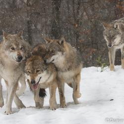 Roedel wolven