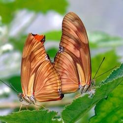 Dryas Julia.. Love on a Leaf!