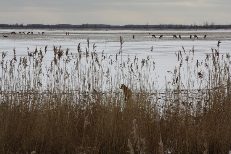 Vos op de loer - Vos die de omgeving verkent in Oostvaardersplassen Flevoland