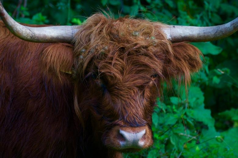 Je bent een rund als je met me stunt - Eén van de runderen die loslopen in het natuurgebied boven Alkmaar, het Geestmerambacht. Mooi gebied, zeker nu