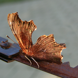 Aurelia vlinder