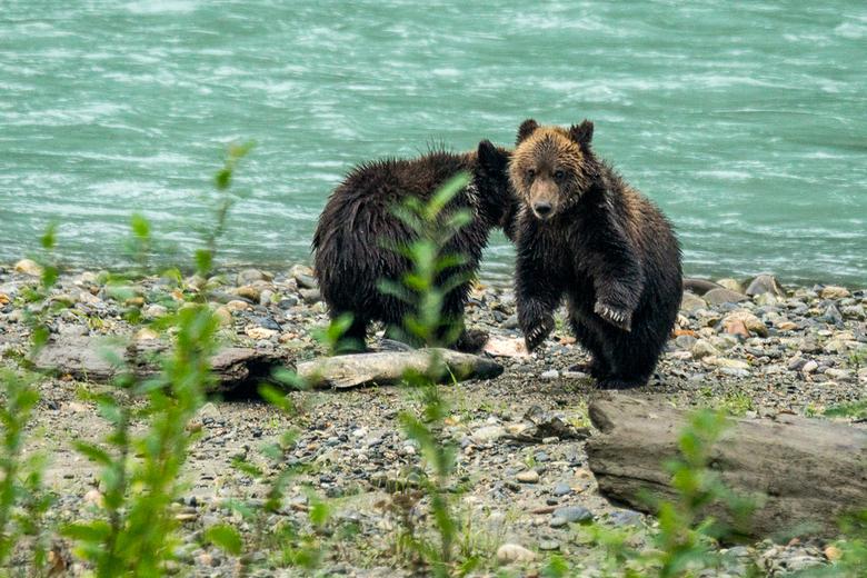 Dansende Grizzly jong - Jonge Grizzlyberen spelen met zalm
