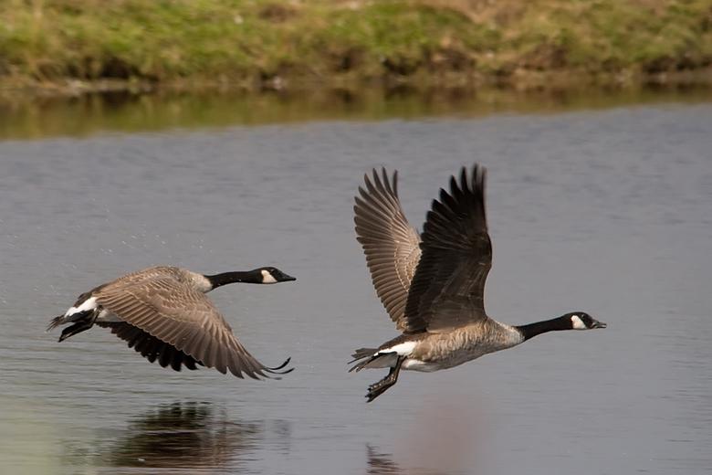 Grote canadese ganzen - In natuurgebied Leinwijk