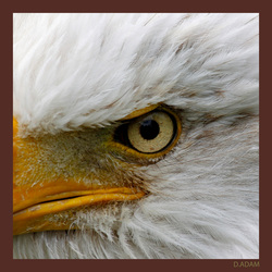 The eye of an eagle