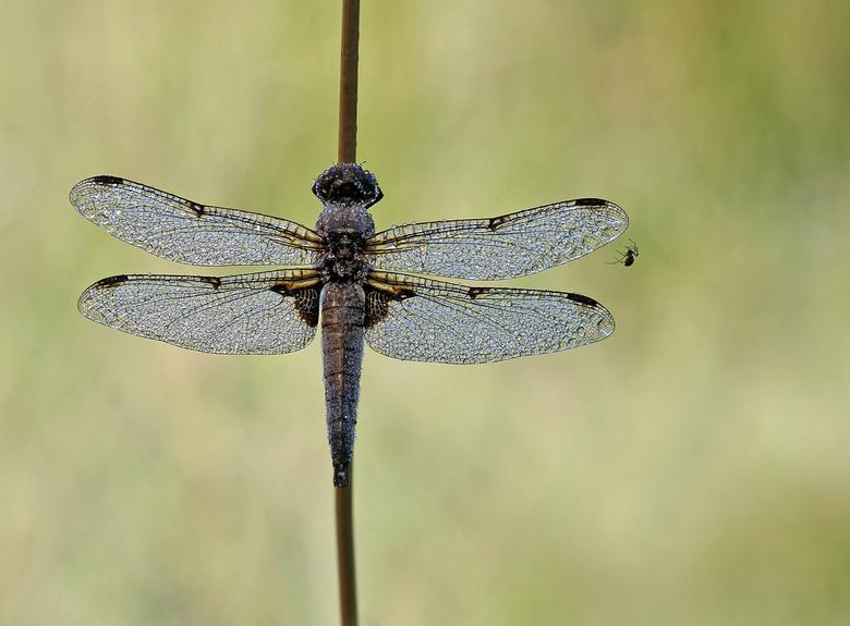 The spider and the dragonfly - Dit troffen we op een vroege en koude morgen. Twee rovers die hun leven vullen met jagen en voortplanten. Dank voor jul