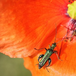 insect op klaproos