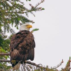 American eagle@zoom