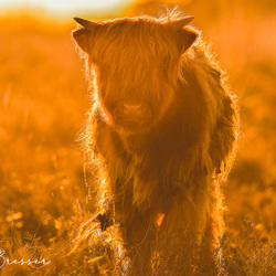 Sunset Scottish Highlanders