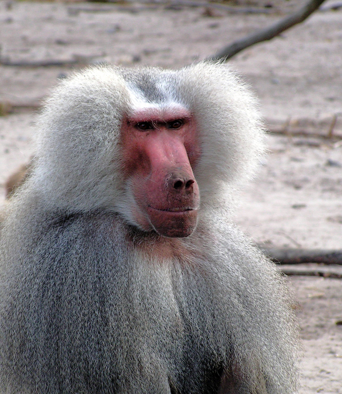 Prachtige aap - Wederom Beekse Bergen 2007, een prachtige oude aap, met mooie kleurcontrasten.