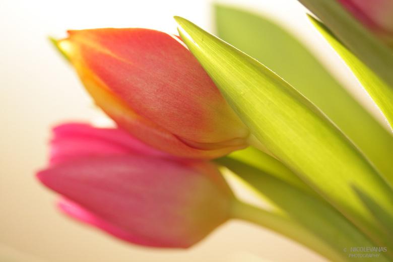 Backlight Tulips - Het weer is regelmatig niet uitnodigend om buiten te fotograferen.<br /> <br /> Een bosje tulpen kopen, daar heerlijk mee aan de