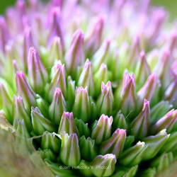 Ontluikende bloei