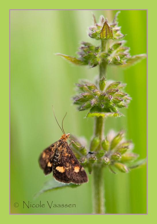 vlindertje - Dit kleine vlindertje vond ik in het park, geen idee nog wat het is. Weet iemand goede sites om vlinder en libelle soorten te zoeken?
